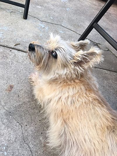 Dog Cairn Terrier Dog Looks At Camera Dog Look