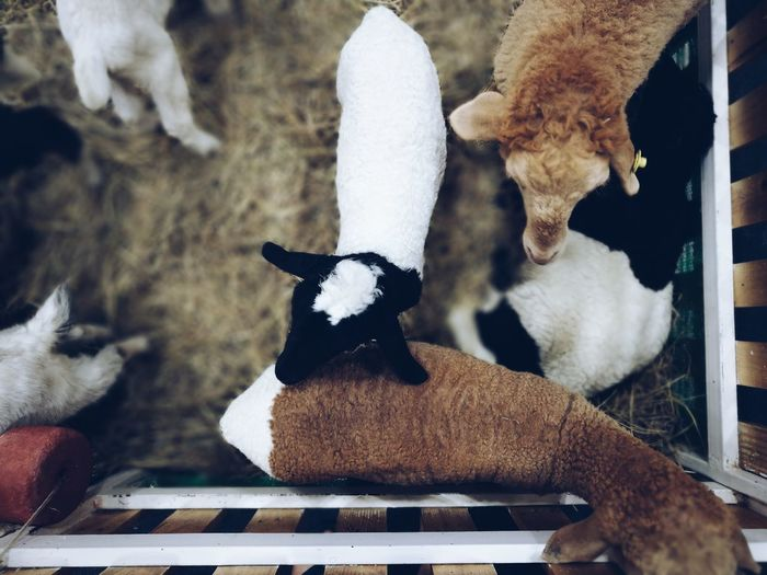 Close-up of kid goats in farm