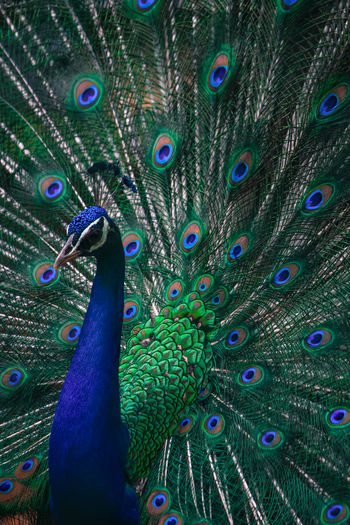 peacock dance Animal Themes Animal Wildlife Animals In The Wild Backgrounds Beauty In Nature Bird Blue Close-up Day Fanned Out Feather  Full Frame Multi Colored Nature No People One Animal Outdoors Peacock Peacock Feather