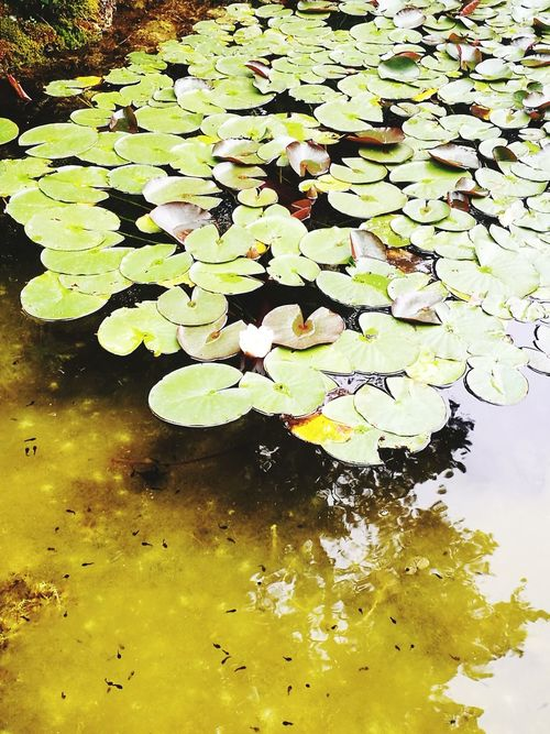 Lily pads Water Leaf Yellow Reflection Close-up Green Color