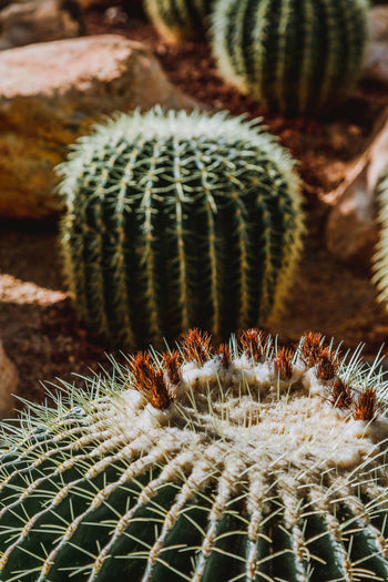 Business Succulent Plant Cactus Thorn Growth No People Close-up Barrel Cactus Focus On Foreground Plant Sharp Natural Pattern Spiked Day Nature Beauty In Nature Pattern Selective Focus Green Color Outdoors Climate Arid Climate Spiky Ecosystem  Desert Backgrounds