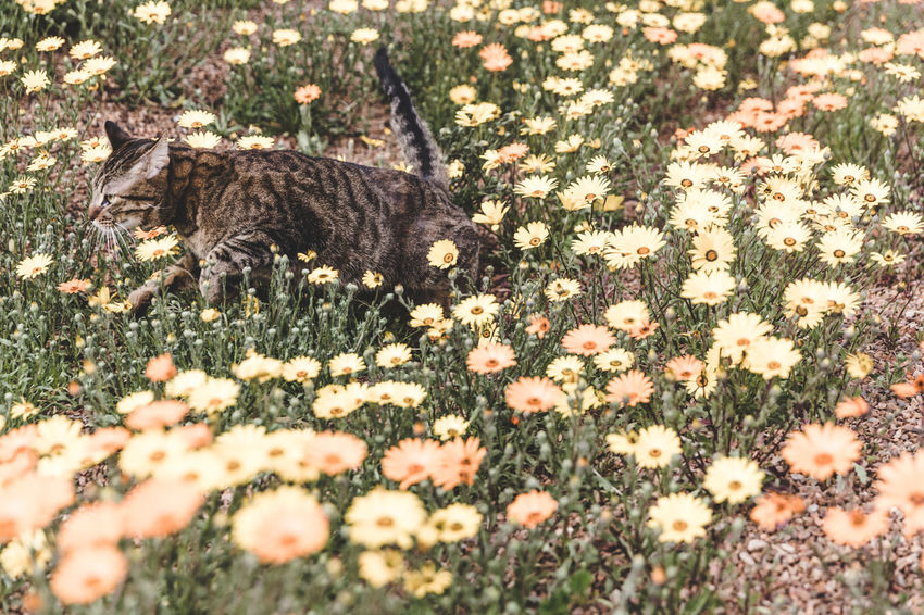 Cat running through patch of blooming yellow and orange flowers. Perspectives On Nature Animal Themes Day Domestic Animals Domestic Cat Feline Flower Grass Mammal Nature No People One Animal Outdoors Pets Selective Focus
