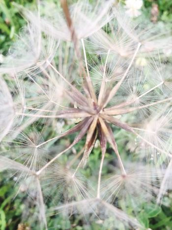 Fragility Dandelion Plant Vulnerability  Close-up Growth Flower Beauty In Nature Flowering Plant Nature