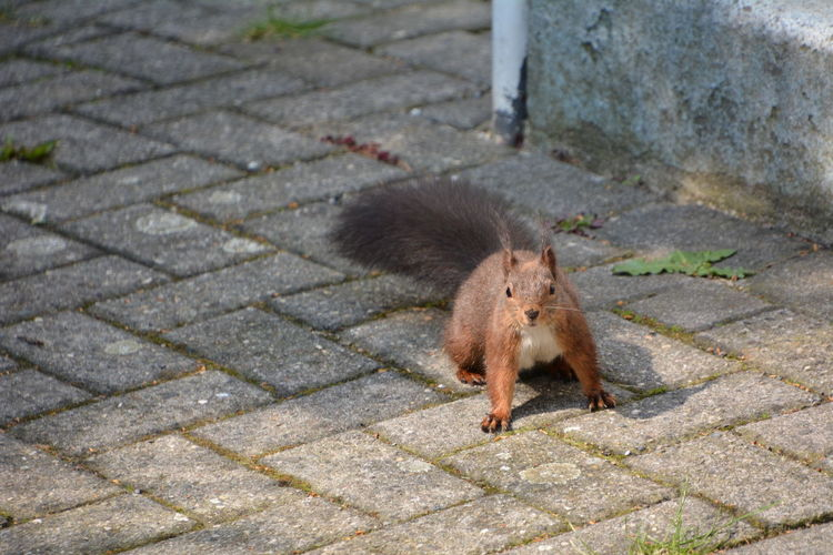 Squirrel Eichhörnchen Animals In The Wild One Animal Animal Themes Animal Mammal Rodent Animal Wildlife Footpath Vertebrate Day No People City Street High Angle View Outdoors Stone Paving Stone Full Length Cobblestone Whisker