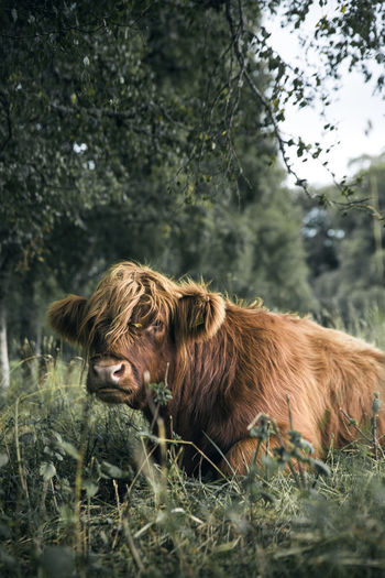 Moody Sky Moody Mood Hairy Cow Hairstyle Hairy  HairyCow Portrait Animal Cattle Cattlefarm