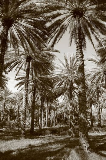 Oman Sepia Tree