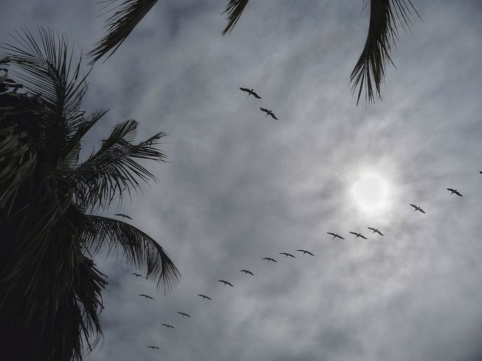 Low angle view of frigatebirds flying against sky