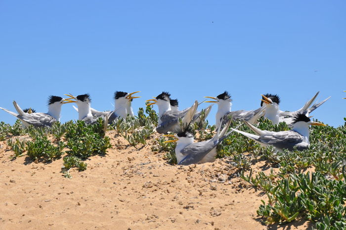 Colony of crested terns on vegetated coastal dunes at Penguin Island in Rockingham, Western Australia. Animals In The Wild Arid Climate Bird Birds Birds_collection Blue Calling Clear Sky Colony Crested Terns Fairy Terns Flock Of Birds Group Nature Nature Nesting Penguin Island Perching Plant Sand Squawking Sunlight Western Australia Wildlife Zoology