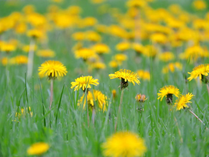 Dandelion Collection Flower Yellow Flowering Plant Freshness Plant Growth Field Fragility Vulnerability  Beauty In Nature Land Selective Focus Nature Close-up Flower Head Petal Inflorescence No People Day Grass Springtime Outdoors Pollen