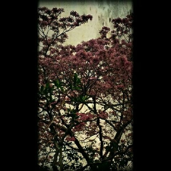Flowers,Plants & Garden Tree_collection  Nature_collection Pink Flower Pink Treescollection Tree Only_spring_flowers