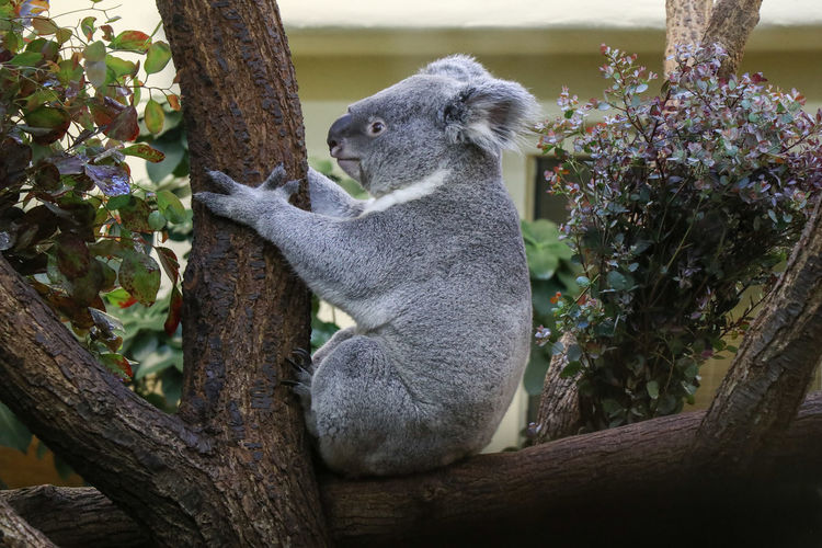 koala in tree Plant Animal Animal Themes One Animal Animal Wildlife Mammal Animals In The Wild Tree Nature Vertebrate Tree Trunk Branch No People Trunk Day Sitting Growth Outdoors Side View Relaxation Koala Koala Bear