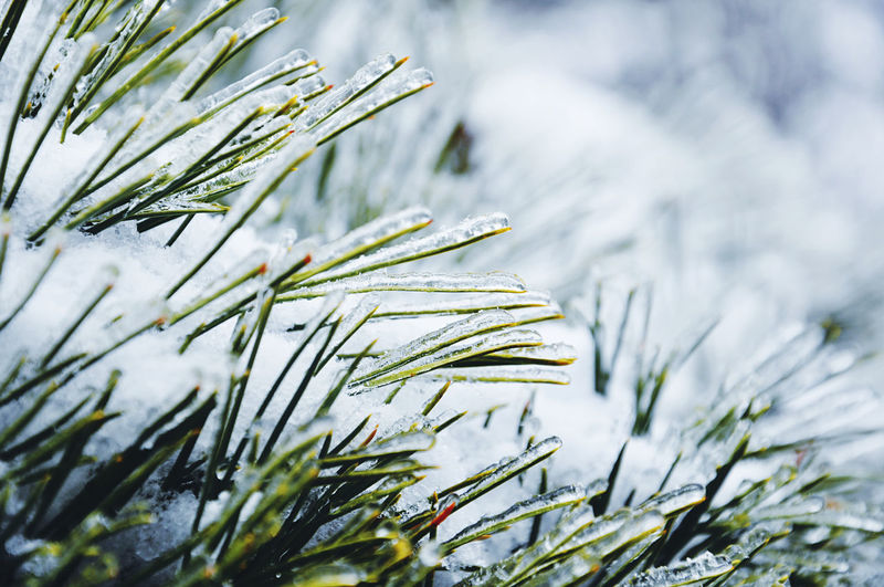 Close-up of frozen pine tree needles during winter
