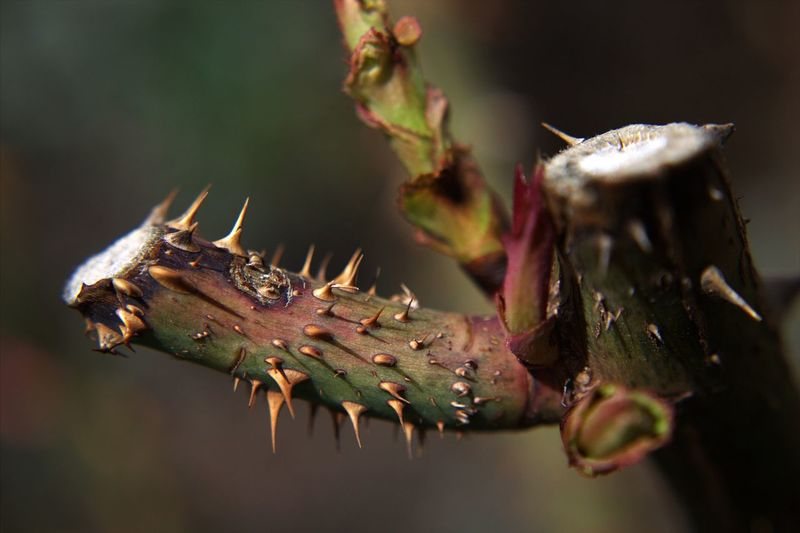 Close-up of thorns on plant