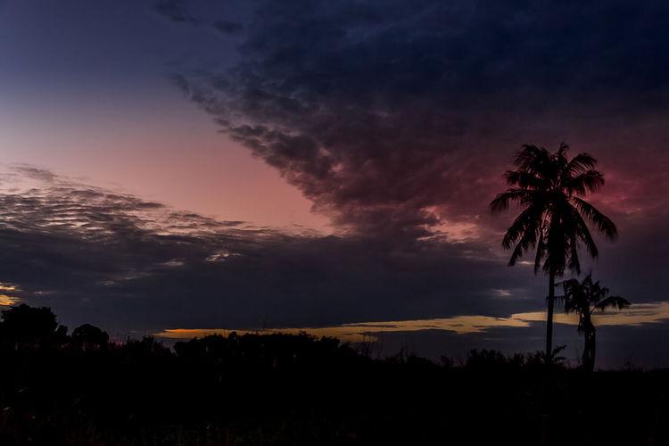 Sky Tree Palm