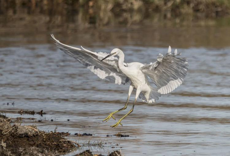 Egret landing.