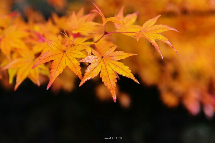 Beauty In Nature Tree Leaf Nature Forest Maple Leaf Autumn Change Nature Close-up Orange Color Vibrant Color Beauty In Nature No People Outdoors Tree Fragility Day