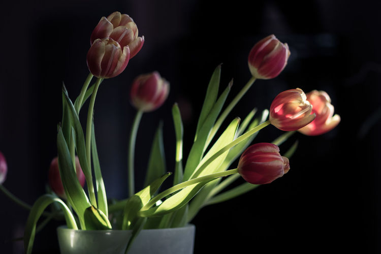 Beauty In Nature Black Background Close-up Day Flower Flower Head Fragility Freshness Growth Indoors  Nature No People Petal Plant Plant Bulb Red Scented Tulip
