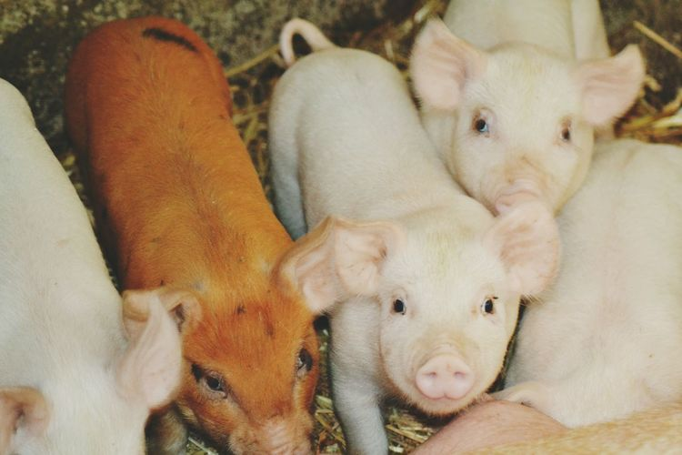 High angle view of piglets