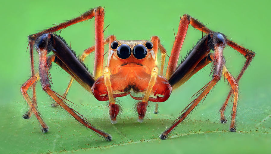 Wide jaw jumping spider Isolated Red Animal Animal Body Part Animal Eye Animal Leg Animal Themes Animal Wildlife Animals In The Wild Arachnid Arthropod Close-up Day Green Color Jumping Spider Leaf Nature No People One Animal Orange Color Outdoors Spider Stare Viscera Zoology