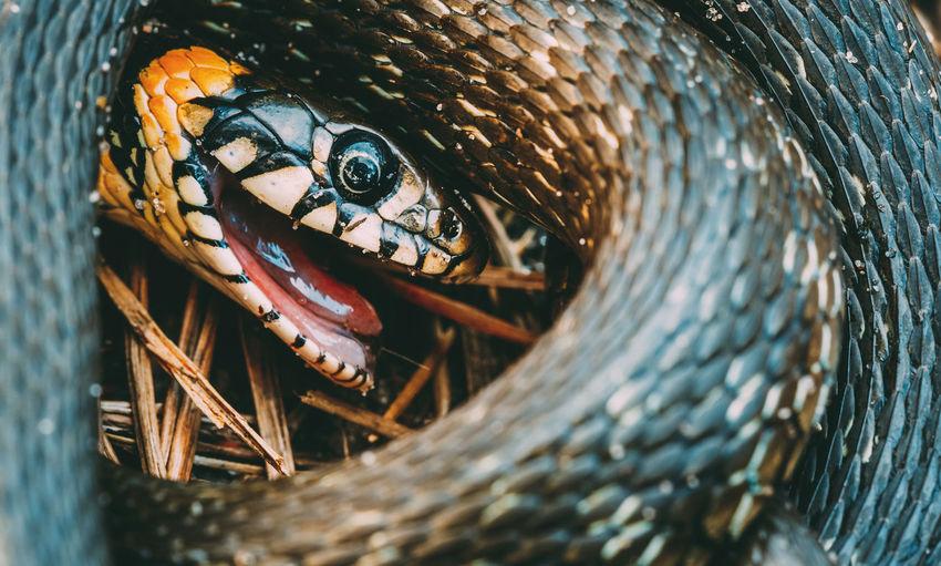Grass Snake (Natrix Natrix) Adder Head Raising In Hibernation Animal Black Brown Danger Eye Fauna Forest Grass Snake Grass-snake Gray HEAD Nature Park Reptile Snake Spring Wild Hibernation