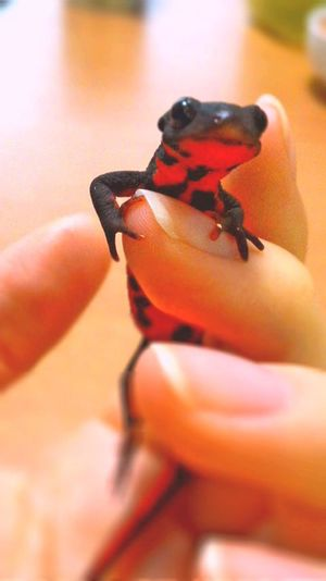 Newt アカハライモリ Japanese Fire Belly Newt 両生類 Amphibian Close-up