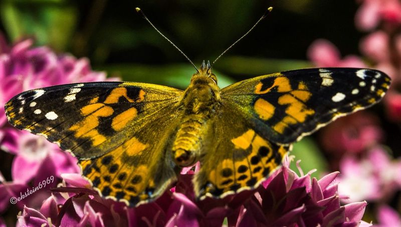 Butterfly Macro Macro Nature ThingsWithWings