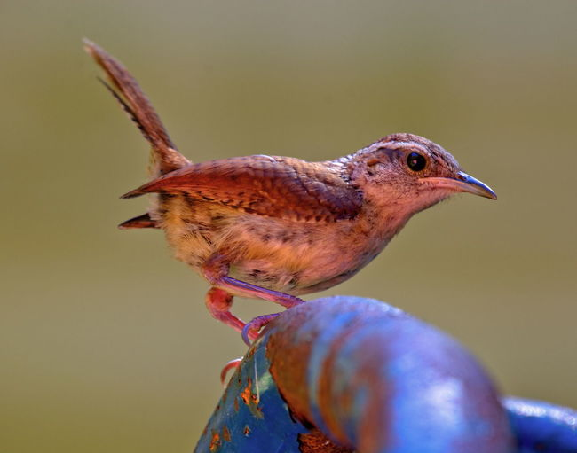 House Wren Montgomery, Alabama Bird Photography Animal Animal Themes Animal Wildlife Animals In The Wild Bird Close-up Day Focus On Foreground Food Looking Looking Away Nature No People One Animal Outdoors Perching Selective Focus Side View Vertebrate Wren Zoology