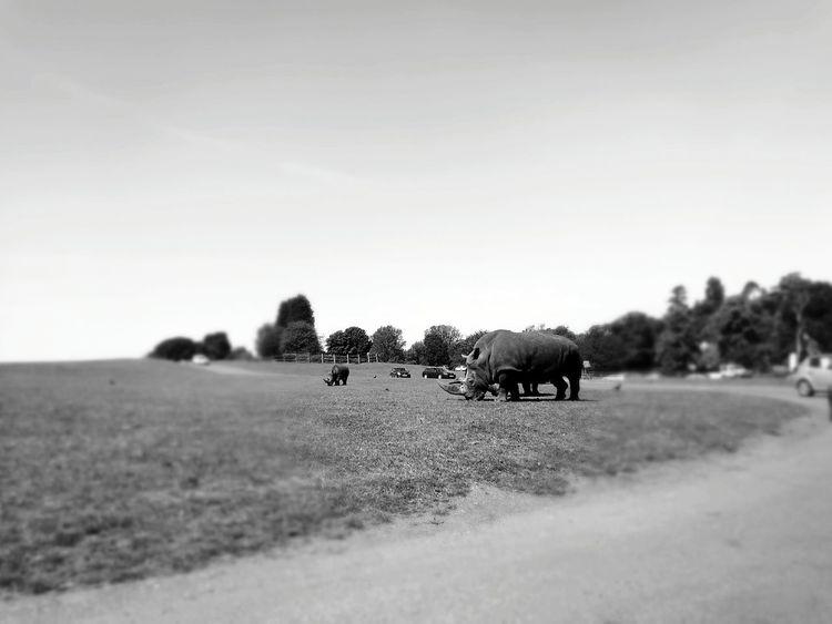 West Midlands safari park Safari Animals Rino West Midlands Safari Park Black And White Photography Black And White Phone Photography Huaweiphotography HuaweiP9Photography