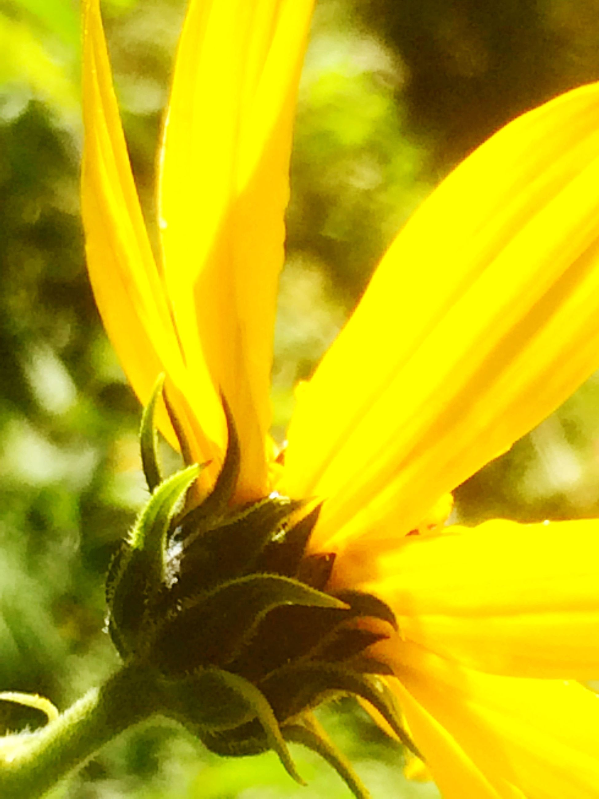 flower, petal, freshness, fragility, flower head, yellow, close-up, beauty in nature, growth, nature, single flower, plant, selective focus, springtime, blossom, vibrant color, extreme close-up, sunflower, in bloom, macro, botany, softness, outdoors, day, extreme close up, bloom, soft focus, sepal