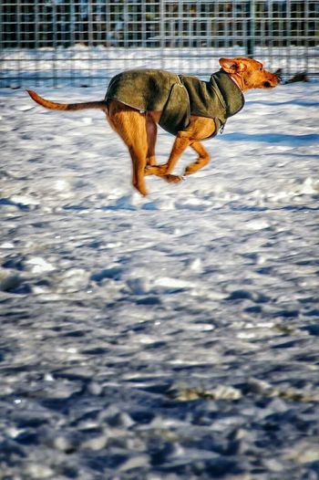 Side View Of Italian Greyhound Running On Snow Covered Field