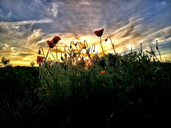 Flower Growth Sky Nature Plant Beauty In Nature Sunset Cloud - Sky Outdoors No People Poppy Field Fragility Freshness Tree Day Flower Head Nikond3300 Light And Shadow EyeEm Best Shots Nature Sitting Sunset_collection Sunset Silhouettes Flowers
