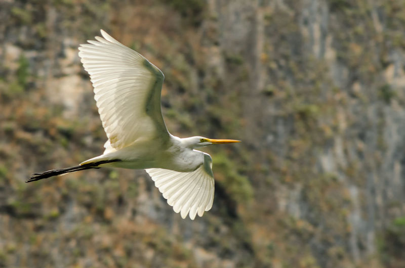 A great egret flying with a canyon wall in the background Alba America Animal Ardea Avian Beautiful BIG Bird Birding Birds Chiapas Chiapas, México Egret Everglades  Fauna Great Heron Landscape Mexico Nature Plumage Swamp Wetland White Wildlife