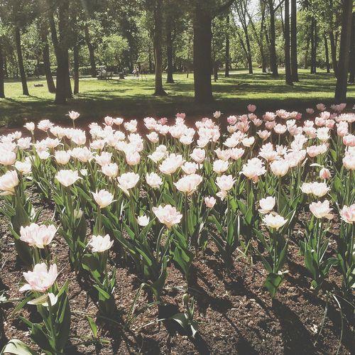 Colorphotography Streetphotography Nature Naturephotography Nature_collection Flowers Tulpen Saint-Petersburg Spb Природа парк екатерингоф цветы Тюльпаны Санкт-Петербург Спб