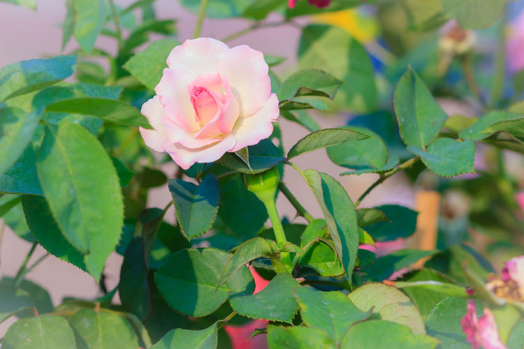 Beautiful white pink rose in the garden that ready for Valentine's Day Beautiful Flowers 🌸 Beautiful Nature Beautiful Flowers Of My Garden. Pink Rose Pink Rose Flower Pink Roses Close-up Beautiful Flower Beautiful Flower Close Up Beautiful Flower, Natural Color, Beautiful Flowers Beautiful Flowers Garden Nature Beautiful Flowers Make Me Happy Beautiful Flowers. Beauty In Nature Blooming Close-up Day Flower Flower Collection Flower Head Fragility Freshness Green Color Growth Leaf Nature No People Outdoors Periwinkle Petal Pink Color Pink Rose Bud Plant Rose - Flower Soft Pink Soft Pink Flower Soft Pink Flowers Soft Pink Petal Soft Pink Petals Soft Pink Rose Petal White Pink White Pink Pearl Flower