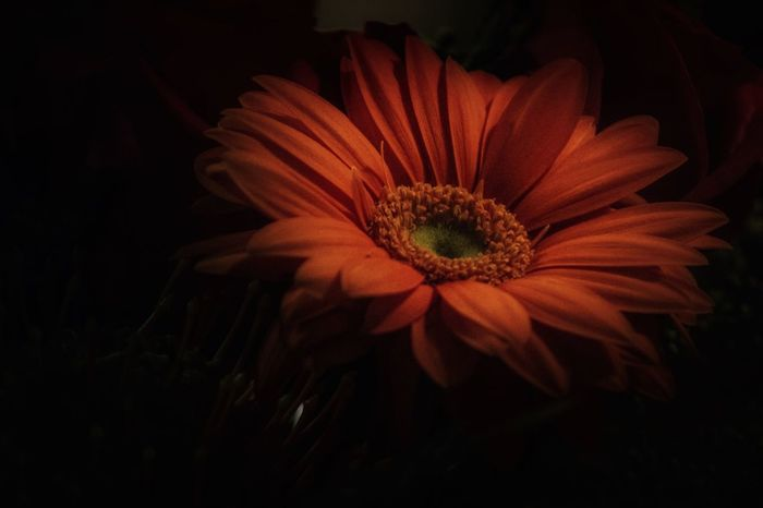 Fragility Close-up Flower Vulnerability  Freshness Plant Flower Head Beauty In Nature Inflorescence Petal Flowering Plant Growth Pollen Nature No People Orange Color Studio Shot Indoors  Night Black Background