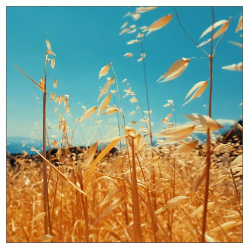 Griechenland Sky Samosir Island  Samos Greakenland Cloud - Sky Nature Sunny Day Greece Agriculture Wheat Field Close-up Plant Tall Grass Corn - Crop Auto Post Production Filter