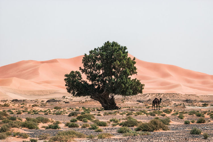 Camel by tree in desert against clear sky