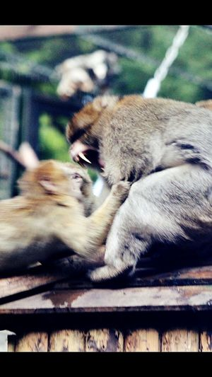 Macaques fighting over food. Mammal Monkeys Macaque Monkey Monkey Fight Animal Fighting Wildlife