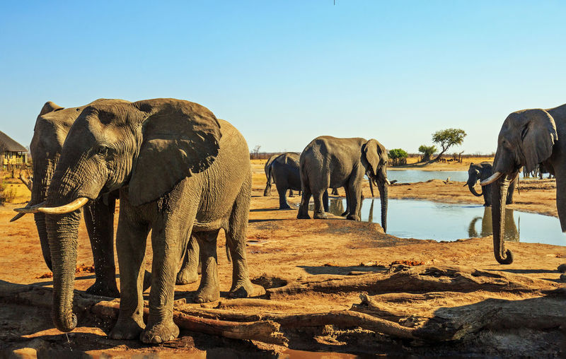 Herd of African Elephants visit a camp waterhole Animal Animal Themes Elephant Mammal Sky Clear Sky Nature Day No People Sunlight Safari Hwange National Park Big Five Pachyderm Beauty In Nature Wildlife & Nature Wildlife Photography Wildlife Animals In The Wild Nature Nehimba Scenics - Nature Waterhole Tusks Herd