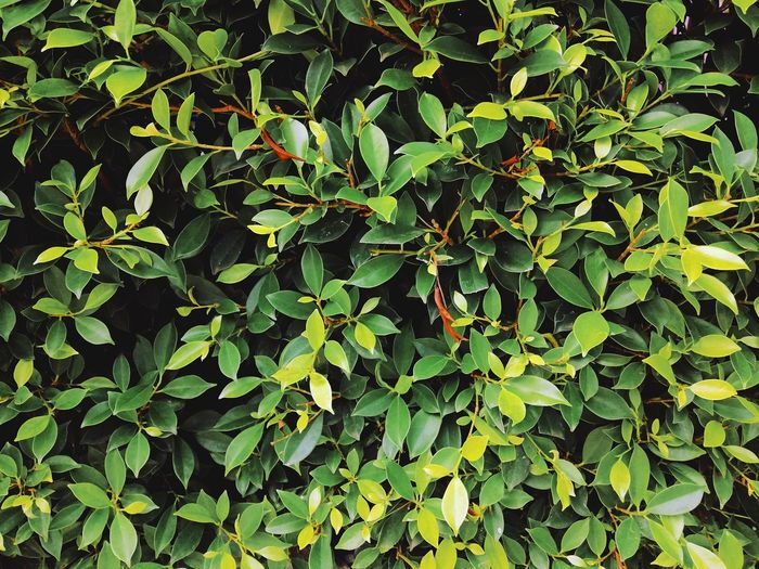 Full frame shot of ivy growing on tree