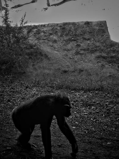 Animal Themes No People Mammal Outdoors Landscape Nature Day Ape Chimpanzee Chimp Monkey Onallfours Zoo Zoophotography Zoo Animals  Sandiego Sandiegozoo Animals Animal Animal Photography Walking Around EyeEmNewHere EyeEmNewHere Welcome To Black EyeEm Diversity The Great Outdoors - 2017 EyeEm Awards Live For The Story