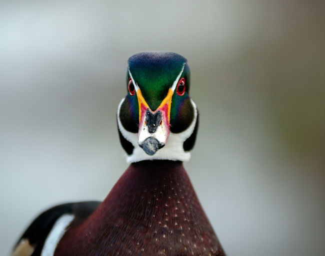 Male Wood Duck Wood Duck  Animal Body Part Animal Eye Animal Neck Animal Wildlife Animals In The Wild Beak Bird Close-up Day Duck Focus On Foreground Indoors  Male Animal Multi Colored No People One Animal Portrait Vertebrate