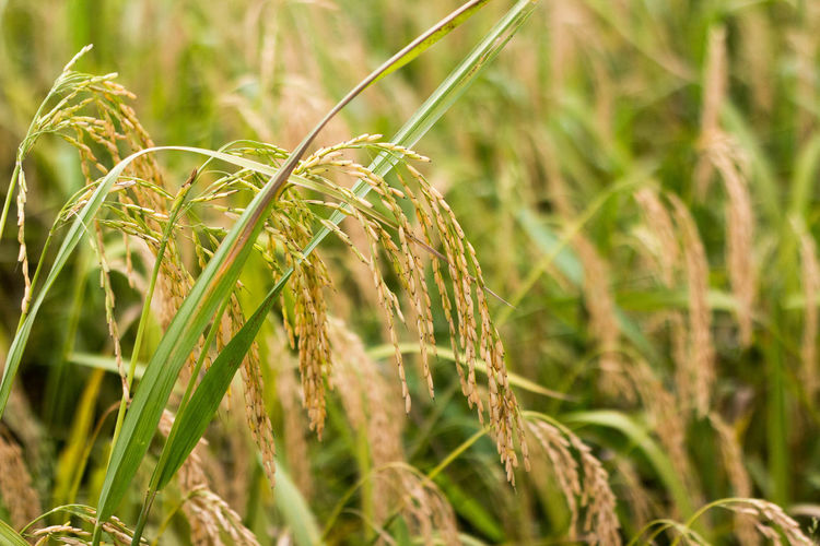 Agriculture Cereal Plant Close-up Crop  Day Ear Of Wheat Farm Field Focus On Foreground Grain Green Color Growth Nature No People Outdoors Plant Rice Rural Scene Wheat