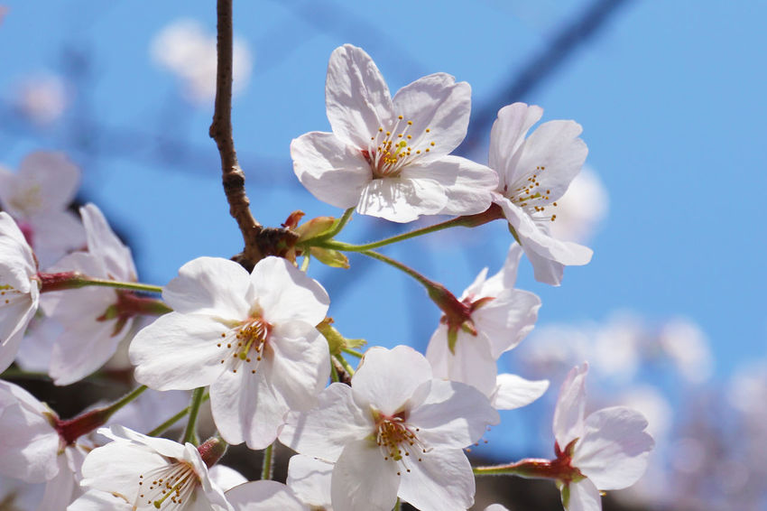 2015  Beautiful Nature Bloom Blooming Blooming Flower Cherry Blossom Cherry Blossoms Chidorigafuchi Flower Full Bloom Full Bloomed Cherry Blossoms Japan Nature Pink Sky Spring Sun Tokyo Tree お花見 サクラ 千鳥ヶ淵 春 桜 花