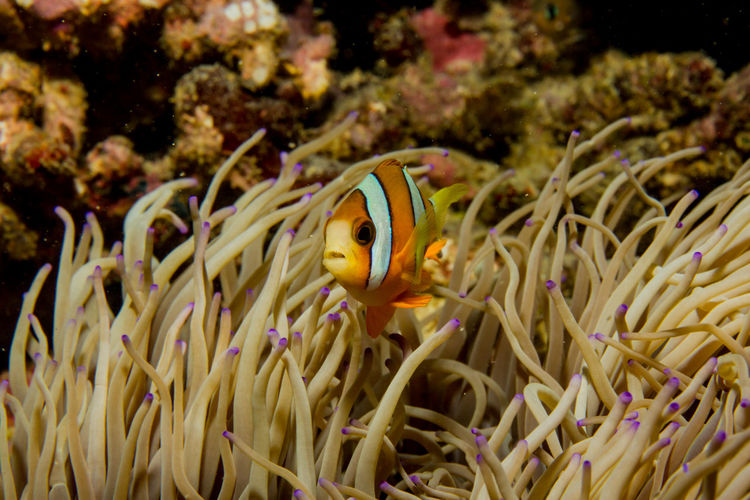 another little Nemo Diving Nemo Philippines Travel Animal Themes Animal Wildlife Animals In The Wild Beauty In Nature Close-up Clown Fish Coral Day Divingphotography Fish Nature No People One Animal Sea Sea Anemone Sea Life UnderSea Underwater Underwater Photography Underwaterworld