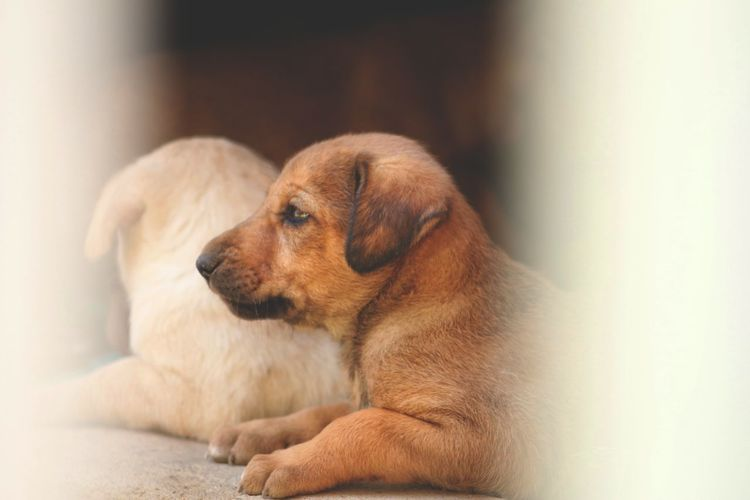 Winds Pets Dog Young Animal Puppy Focus On Foreground Animal Head  Relaxation Domestic Animals Mammal One Animal Animal Themes Brown Resting Looking No People Animal Domestic