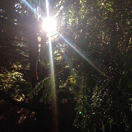 Sunbeam Tree Sunlight Forest Sun Nature Beauty In Nature