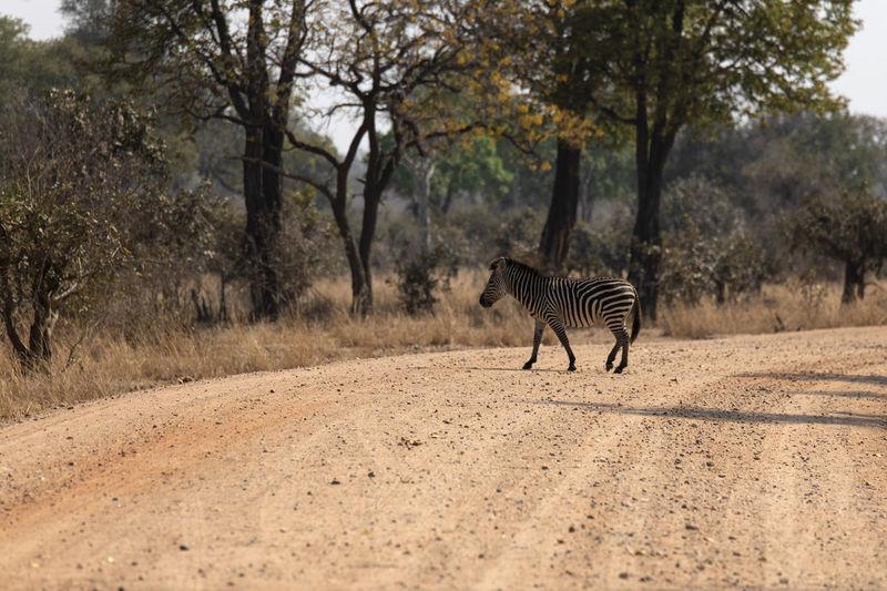 View of zebras walking on road
