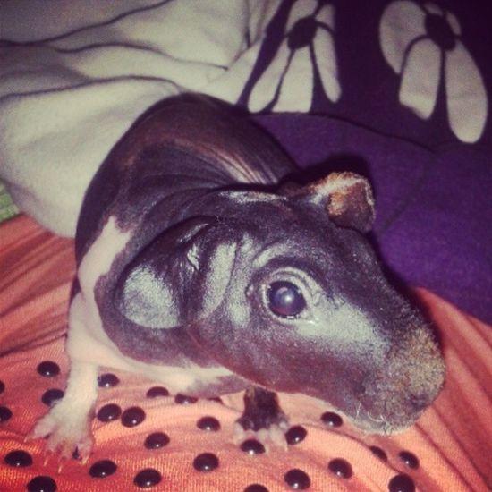 Takie Zwierzątko Swinia Welma mówi dobranoc