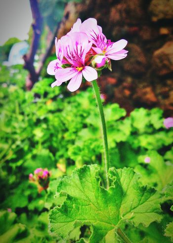 Flower Xperia S